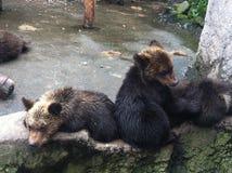 детеныши медведя коричневые стоковая фотография