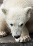 детеныши медведя приполюсные Стоковые Изображения