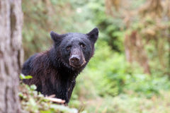детеныши медведя черные стоковая фотография rf