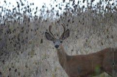 детеныши осляка оленей самеца оленя Стоковые Изображения