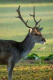 детеныши оленей самеца оленя залежные Стоковая Фотография