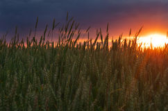 детеныши пшеницы захода солнца зеленого цвета поля вечера Стоковое фото RF
