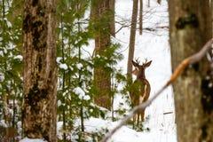детеныши самеца оленя стоковые фотографии rf