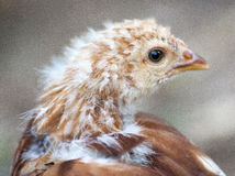 детеныши цыпленка стоковое изображение