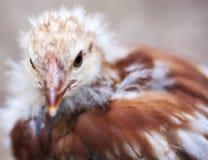 детеныши цыпленка Стоковое Фото