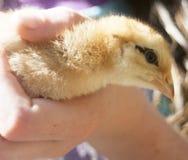 детеныши цыпленка стоковые изображения