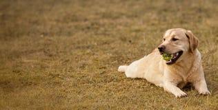 детеныши labrador Стоковое фото RF