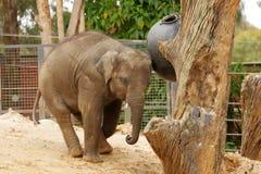 детеныши phuket Таиланда азиатского слона стоковая фотография