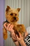 детеныши yorkshire terrier Стоковые Изображения