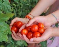 дети с руками полными свежих томатов как раз сжали от t Стоковое Фото