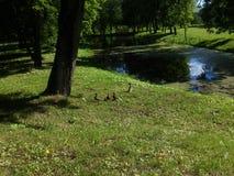 дети duck она Стоковые Изображения