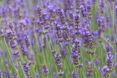 лето лаванды цветка поля Стоковые Фото