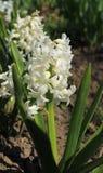 лето весны гиацинта цветка принципиальной схемы романтичное Стоковые Фото