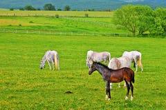 лето выгона ландшафта лошадей холма стоковое фото rf