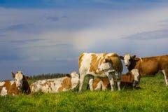 лето выгона коров Стоковые Фото