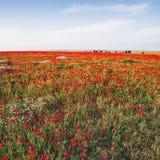 лето красного цвета мака цветового поля индийское Предпосылка природы флористическая Стоковое Изображение RF