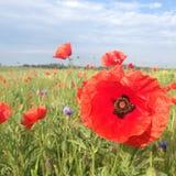 лето красного цвета мака цветового поля индийское Стоковое фото RF