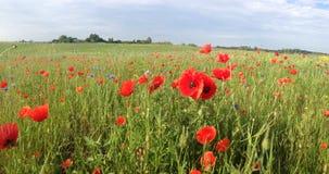 лето красного цвета мака цветового поля индийское Стоковая Фотография RF