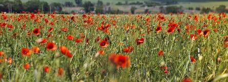 лето красного цвета мака цветового поля индийское Стоковая Фотография