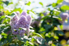 лето предпосылки естественное Сирень Стоковая Фотография RF