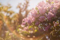лето предпосылки естественное Сирень Стоковые Фото