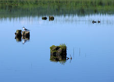 лето природы ландшафта dombai caucasus Чайка сидя на пне вставляя из ri Стоковое фото RF
