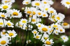 лето сада цветков цветения красивейший лужок Предпосылка лета Стоковые Изображения RF