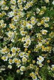 лето сада цветков цветения Стоковое Изображение