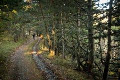 лето сосенки 2008 крымское гор Стоковые Фотографии RF