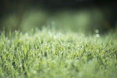 лето утра зеленого цвета травы росы Стоковая Фотография