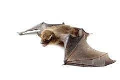 летучая мышь с открытыми крылами Стоковые Фото