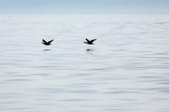 2 летящей птицы снимают вода ища рыбы для еды Стоковая Фотография