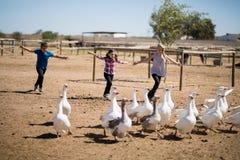3 дет бежать к стаду гусынь в ферме Стоковые Изображения RF