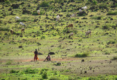 2 дет от Maasai пасут коров на выгоне. Стоковые Фото