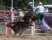 Ехать бык Стоковая Фотография RF