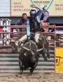 Ехать грубый Bull Стоковые Изображения RF