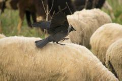 Ехать овцы Стоковые Фото