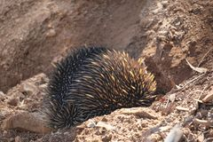 Ехидна выкапывает защищенное отверстие, инстинкт wildlife australites стоковое изображение