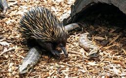 Ехидна уникальное животное только найденное в Австралии стоковые фото