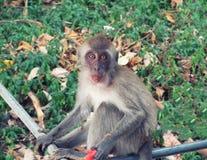 еда арбуза обезьяны стоковое изображение rf