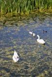 еда безгласного лебедя Стоковое Фото