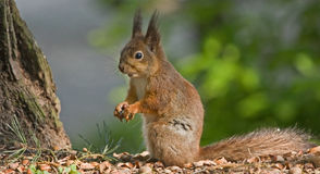 Еда белки в лесе Стоковое Фото