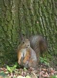 Еда белки в лесе Стоковое фото RF