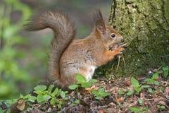 Еда белки в лесе Стоковая Фотография