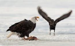 Еда белоголового орлана Стоковые Фото