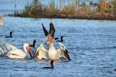 Еда белого пеликана Стоковое Изображение