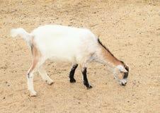 Еда белой и коричневой козы Стоковое Фото