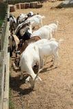 Еда белых и коричневых коз Стоковые Фото