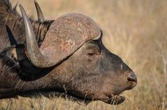 Еда буйвола накидки Стоковое Изображение RF