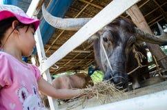 Еда буйвола Стоковые Фото